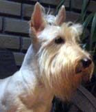 COMPORTAMENTO SCOTTISH TERRIER