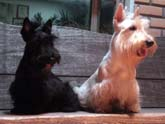 GALERIA DE FOTOS SCOTTISH TERRIER